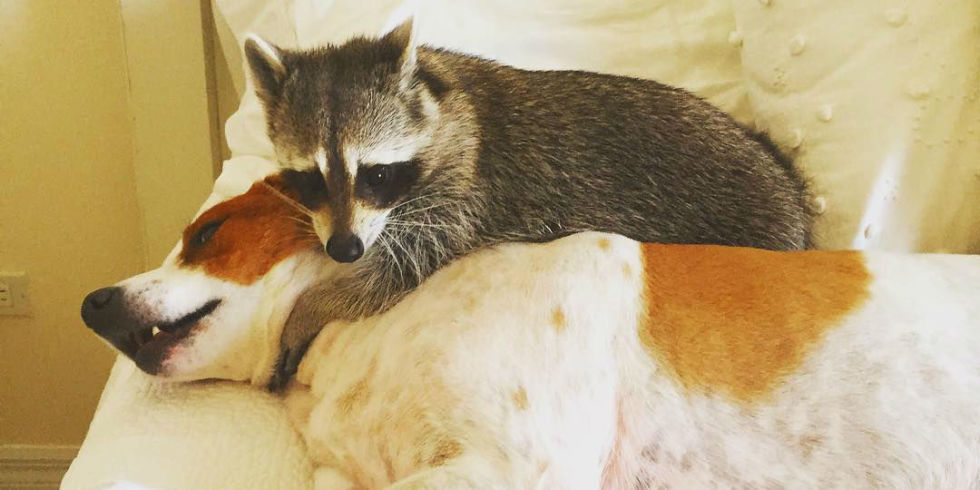 Rescue Animals Meet Pumpkin The Orphan Raccoon - Pumpkin rescued raccoon